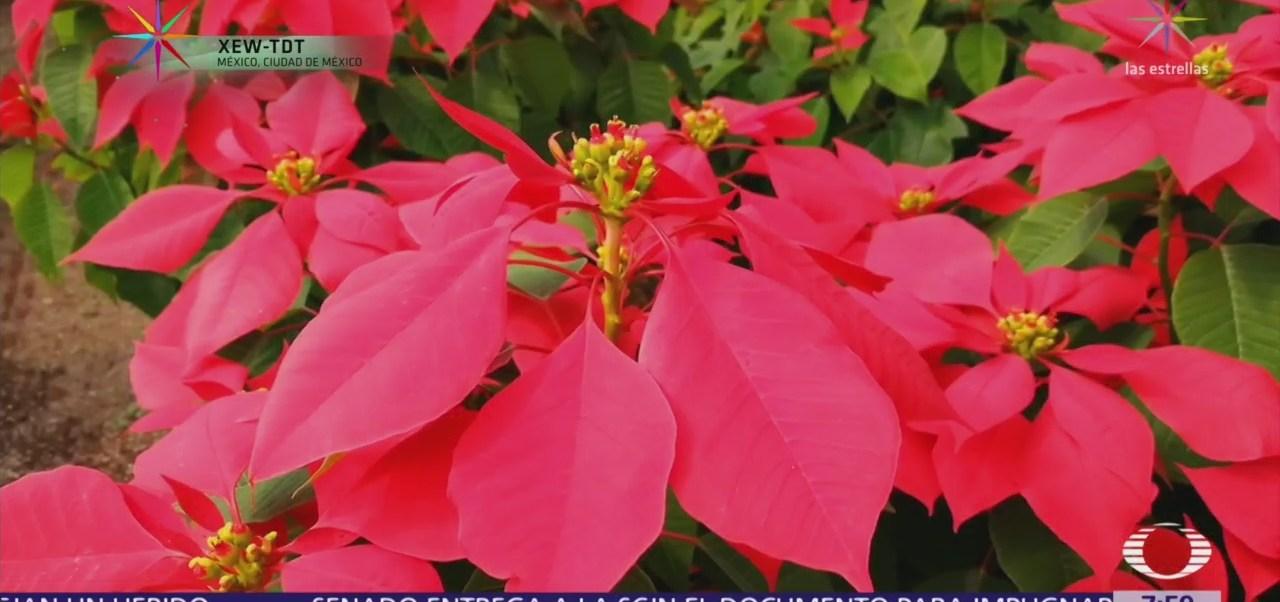 Flor de Nochebuena, planta ornamental de mayor importancia en México