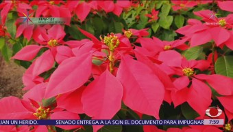 Flor de Nochebuena, planta ornamental de mayor importancia en México