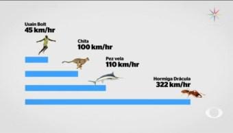 Hormiga Drácula Mordedura 322 Kilómetros Por Hora