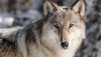 lobo-mas-famoso-parque-yellowstone-asesinado-spitfire