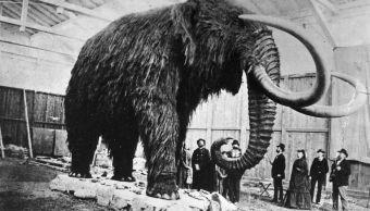 """Los mamuts tenían sangre """"anticongelante"""""""