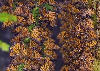 Mariposas monarca pasan por Guanajuato en su ruta hacia Michoacán