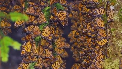Mariposas monarca pasan por Guanajuato ruta hacia Michoacán