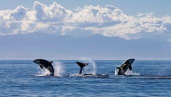 Llega familia de orcas a costas de Colima
