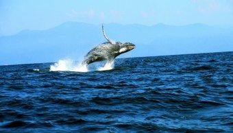 turistas disfrutan avistamiento de ballenas en oaxaca