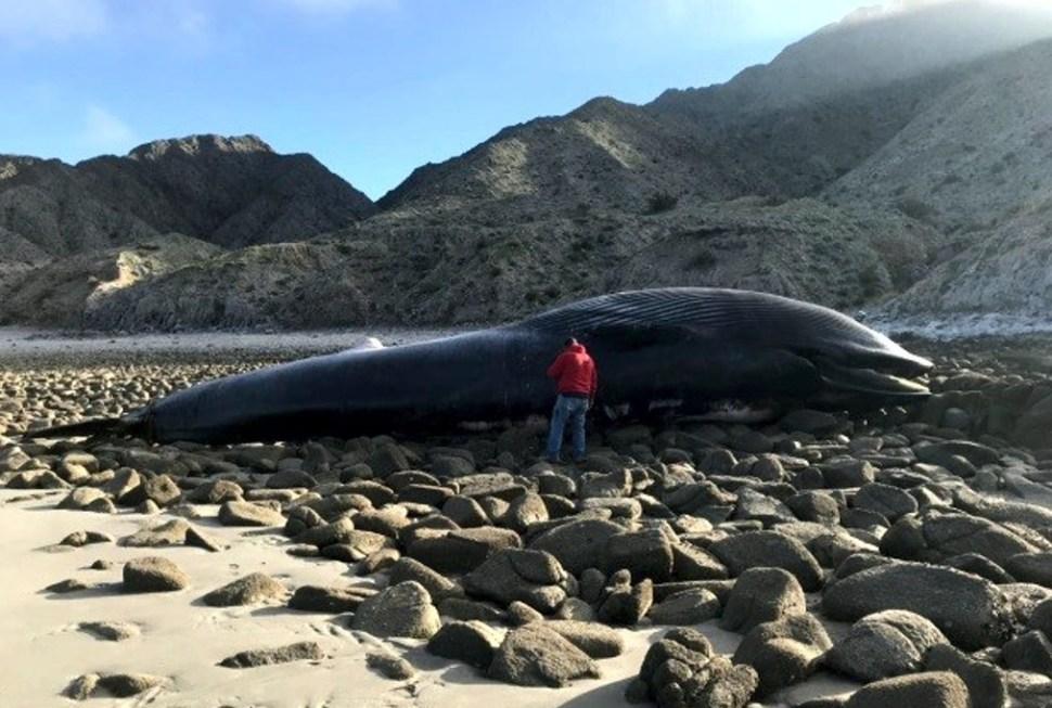Profepa atiende muerte ballena varada Baja California