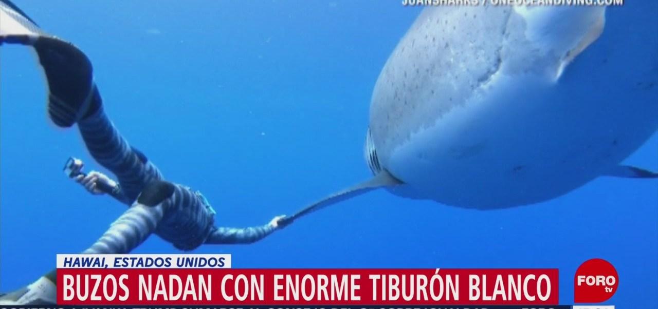 Buzos nadan con enorme tiburón blanco en Hawai