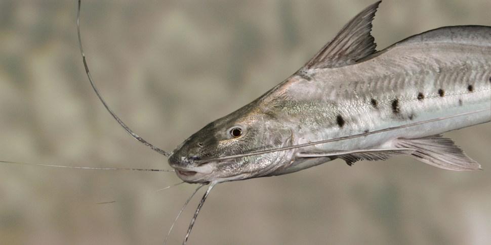 El pez piracatinga, endémico del Amazonas, es atraído a las redes de pescadores con carne de delfín rosado. (Amazonwaters)