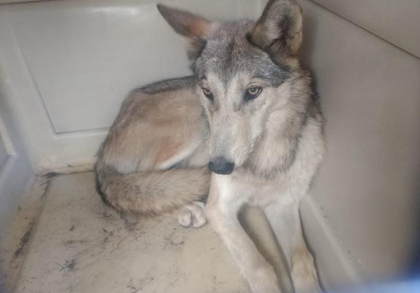 Foto: Capturan a perrita en San Juan de Aragón confundiéndola con un lobo que deambulaba por las calles del 30 de enero del 2019