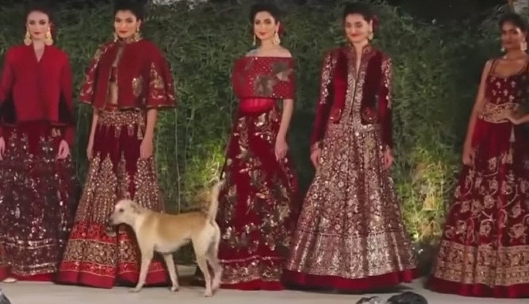 Perro Desfile Modas India Irrumpe Video