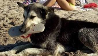 Perro que roba chanclas en la playa se hace famoso