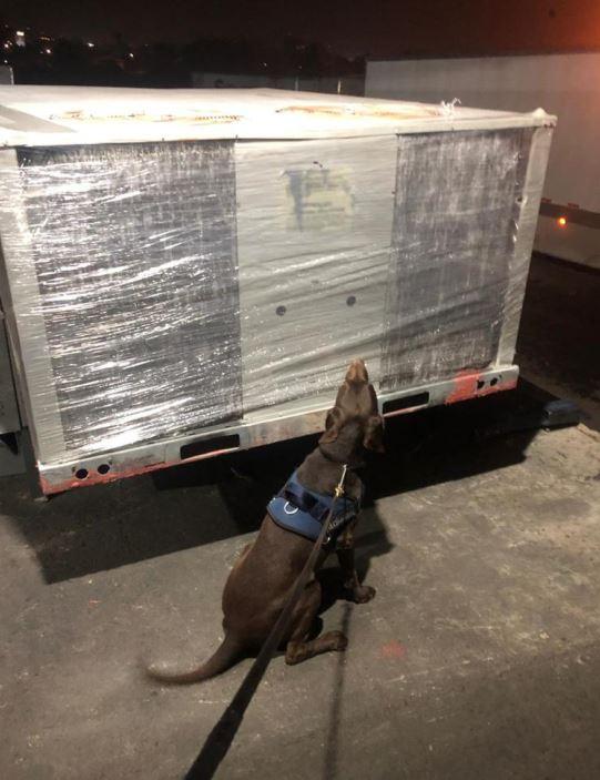 Binomio canino descubre paquetes de marihuana