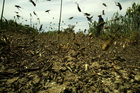 Plaga de langostas invade 12 municipios de Yucatán