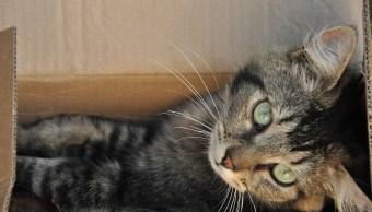 Por Qué Gatos Gustan Cajas Animales
