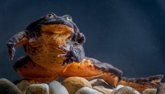 Romeo, la rana más solitaria del mundo, encuentra a su Julieta para salvar a su especie