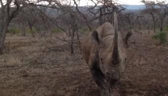 Video Rinoceronte Embistiendo A Auto En Sudáfrica, Rinoceronte, Rinoceronte Negro, Rinoceronte Embiste Vehículo, Rinocerontes, Sudáfrica