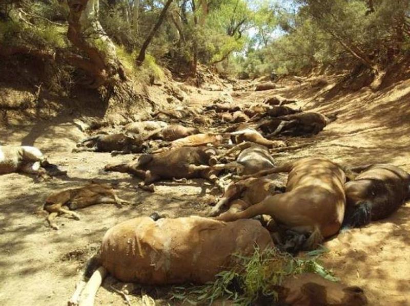 foto caballos muertos cimarron australia