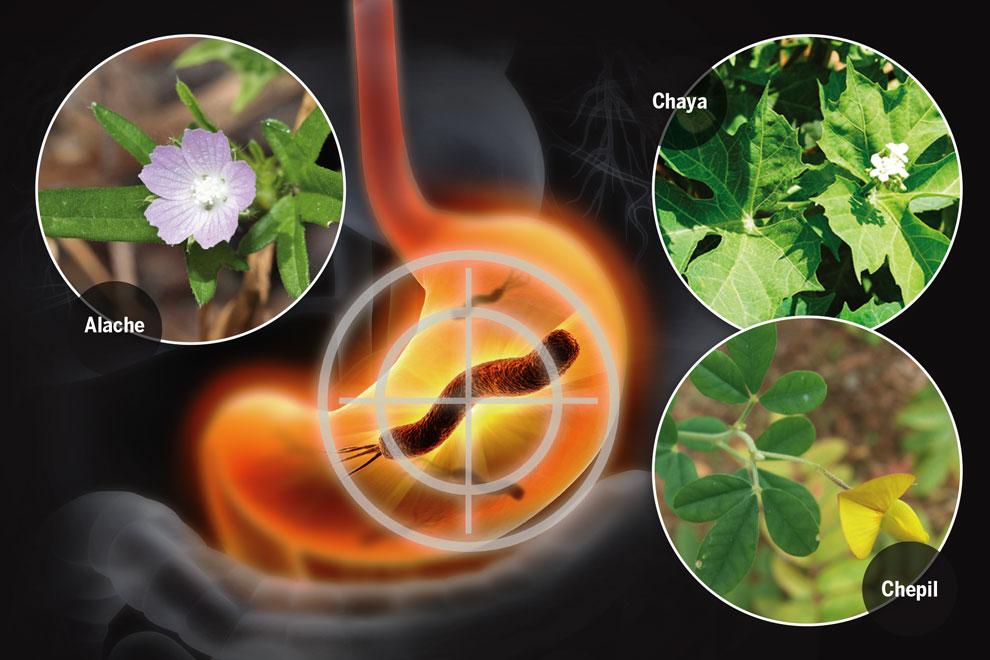 hierbas curativas para la gastritis