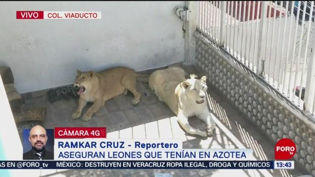 Foto: Aseguran dos leones en la colonia Viaducto, CDMX