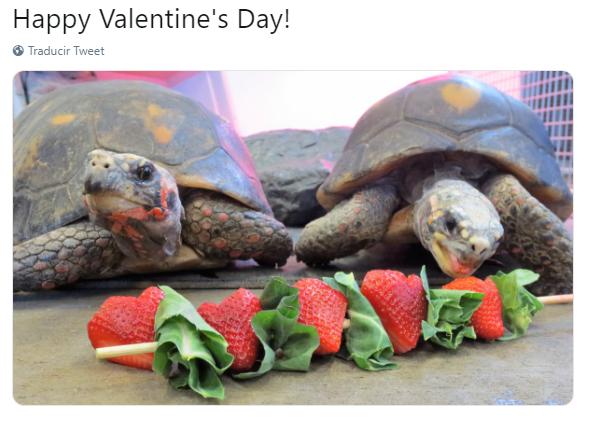 FOTO Banquete de fresas para tortugas del Columbian Park Zoo por San Valentín /Twitter 14 febrero 2019