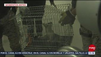Capturan a mapache dentro de sucursal bancaria en CDMX