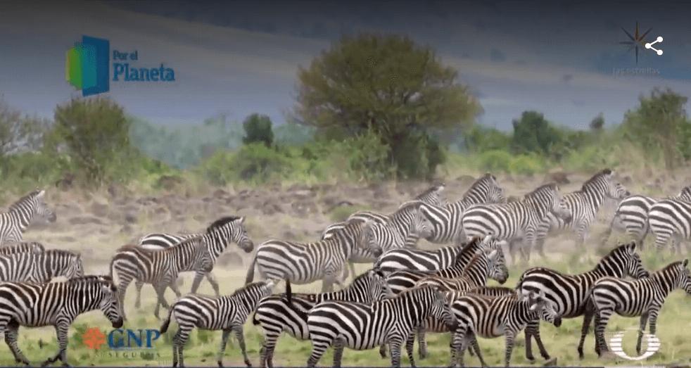 Foto: Cebras forman grandes manadas en Kenia, 26 de febrero de 2019