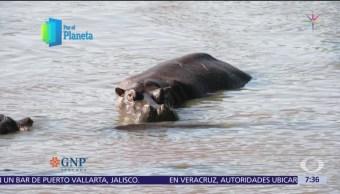 El hipopótamo, uno de los animales más grandes del planeta
