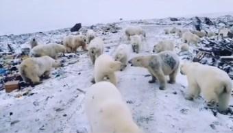 Foto: Un grupo de osos polares recorren las calles de Belushya Guba, Rusia, el 11 de febrero de 2019