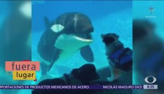 Fuera de Lugar: Orca juguetea con perro en acuario
