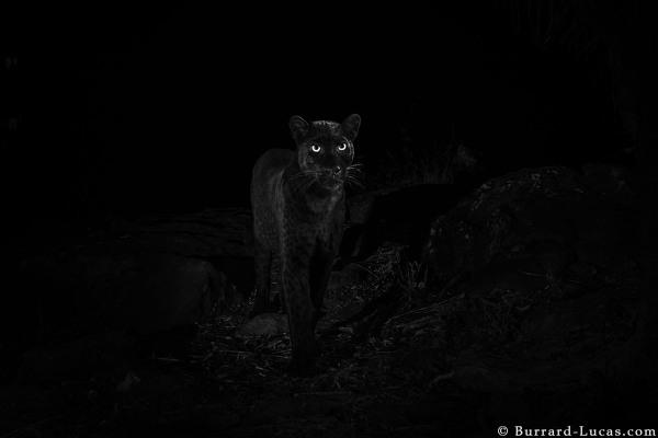 foto leopardo negro kenia 3