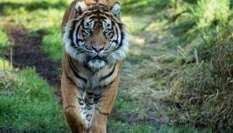 "Foto de la tigresa ""Melati"", 8 febrero 2019"