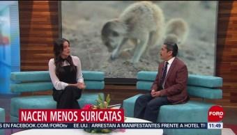 FOTO: Nacen menos suricatas por aumento en el número de días cálidos, 16 febrero 2019
