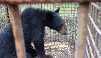 Foto: liberan oso negro en Nuevo León,