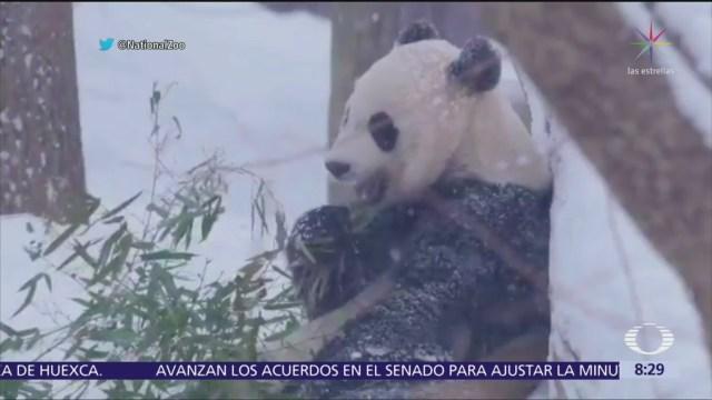 Pandas juegan en la nieve en zoológico de Washington