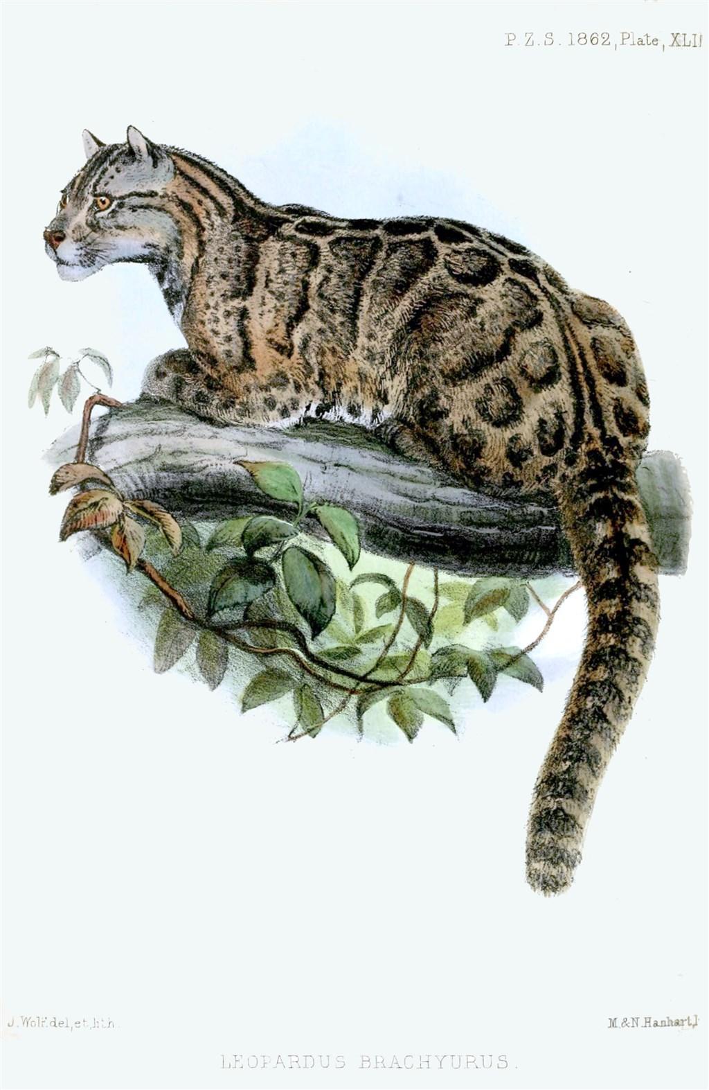 Un dibujo del leopardo nublado de Taiwan (Proceedings of the Zoological Society of London 1862)