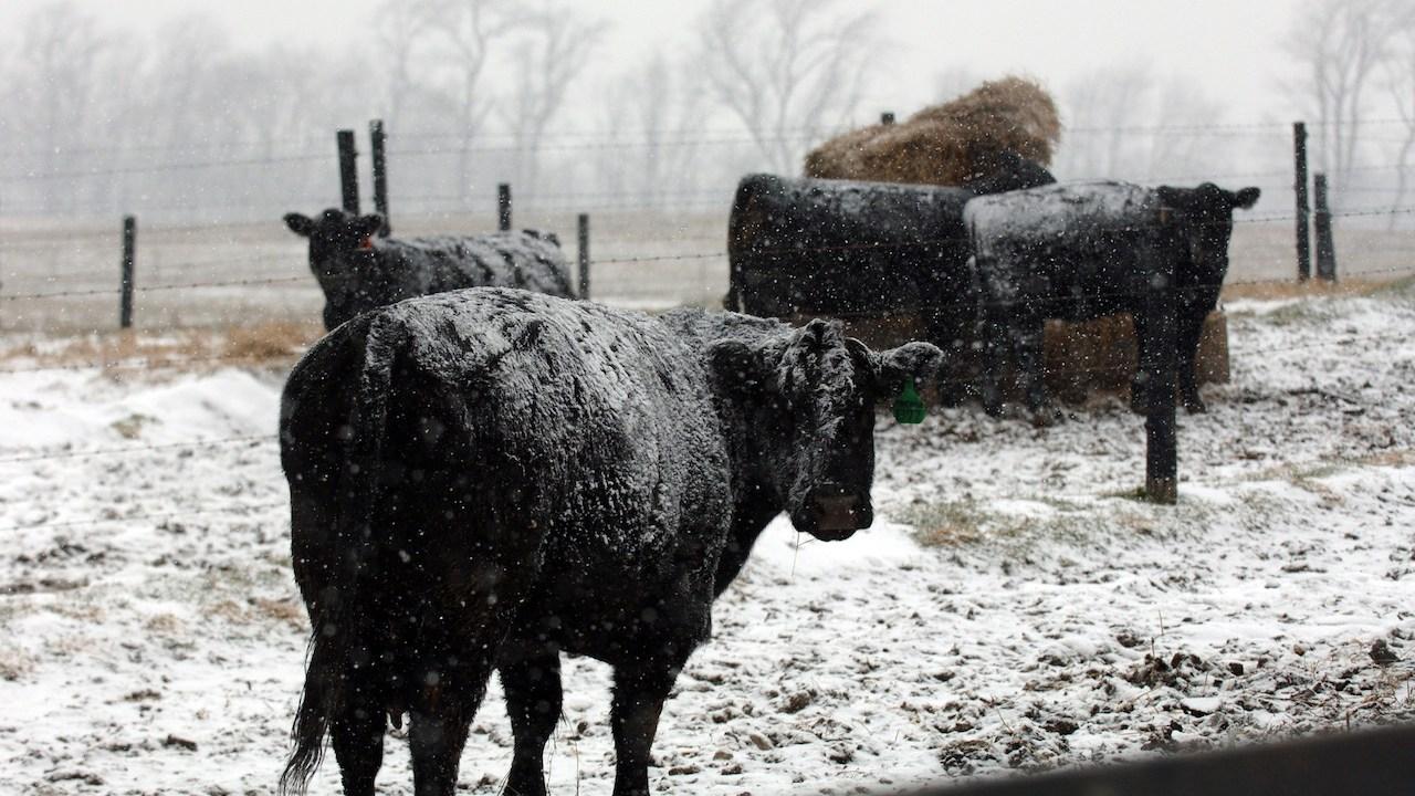 vacas-muertas-tormenta-invernal-Washington-granjeros