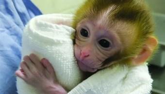 Bebé mono, la clave preservar fertilidad de niños con cáncer