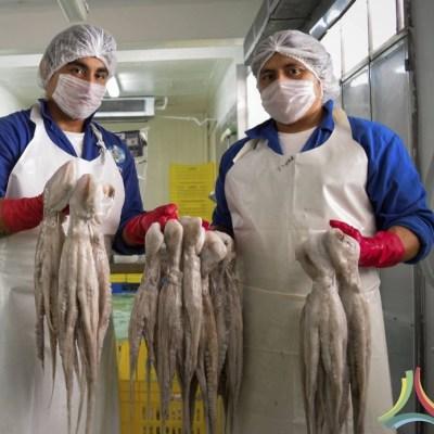 Capturan más de 13 mil toneladas de pulpo en Campeche