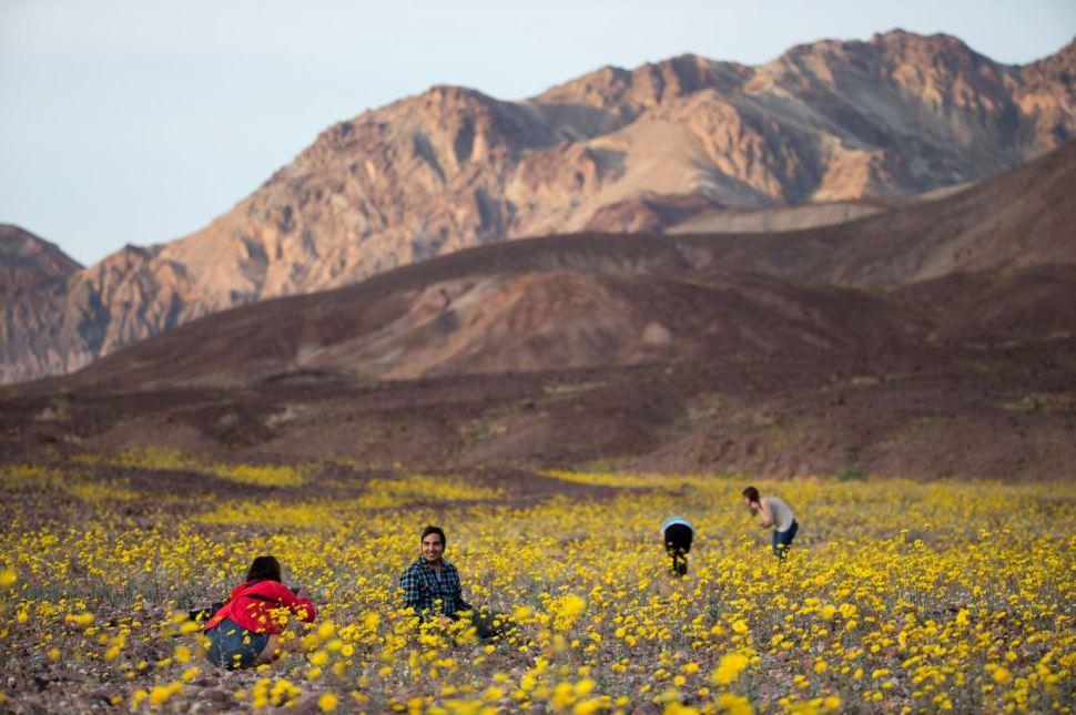 En marzo de 2016, un fenómeno similar al actual causó rocíos en el Death Valley que provocaron el crecimiento de un manto de flores amarillas (AP Images)