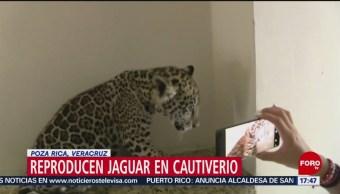 Foto: Especialistas trabajan contra extinción del jaguar, en Veracruz