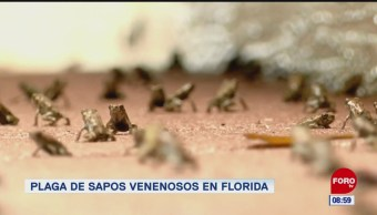 Extra, Extra: Plaga de sapos venenosos en florida