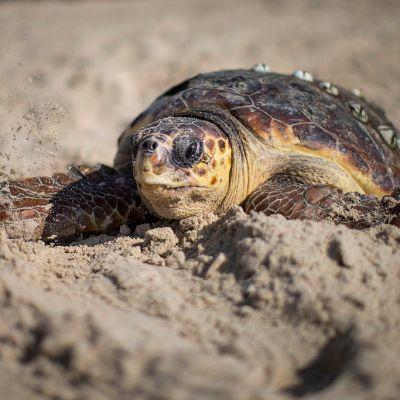 Autoridades en alerta por muerte de 101 tortugas en playas de Guerrero