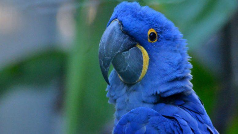 foto Nace guacamayo azul, especie que ya se había extinguido 10 marzo 2019