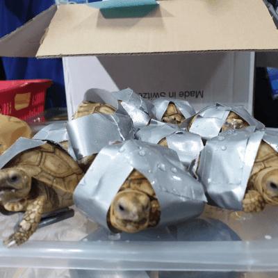 Encuentran 1.529 tortugas envueltas en cinta adhesiva, en Filipinas