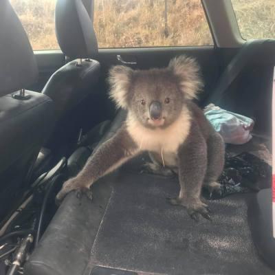 Fotos y videos: Koala acalorado se refugia en carro con aire acondicionado