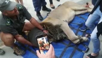 Capturan y encarcelan a león que llevaba prófugo un mes en Sudáfrica