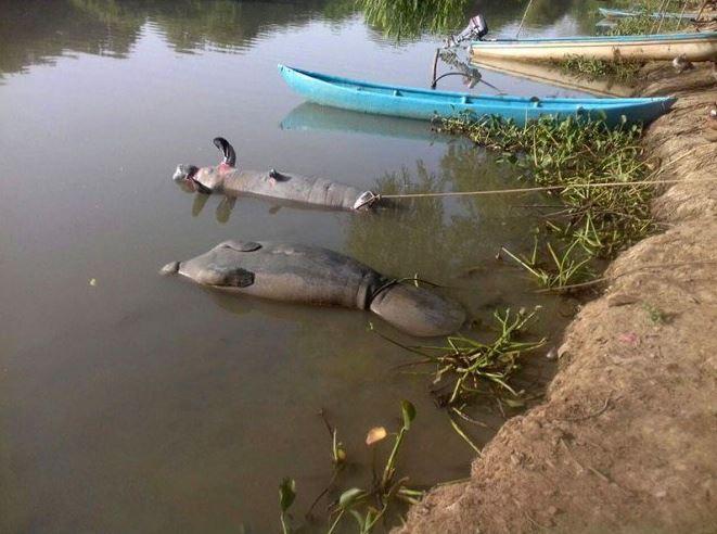 Foto: Mueren dos manatíes en Tabasco por contaminación de ríos, 27 marzo 2019