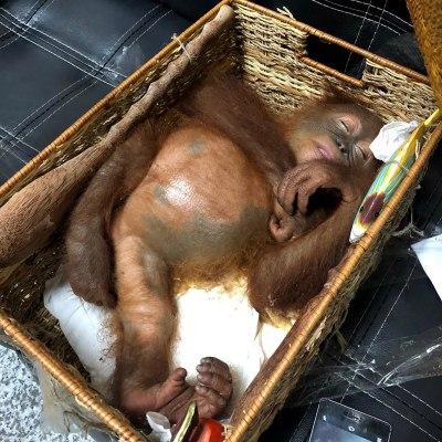 Fotos: Turista ruso intenta contrabandear un orangután en una canasta en Indonesia