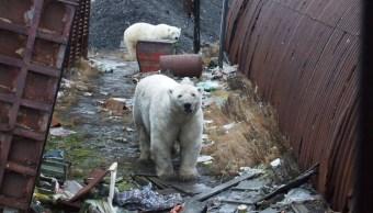 foto Por qué osos polares invadieron un pueblo en Rusia 12 febrero 2019