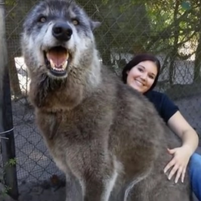 VIDEO: Perro lobo gigante de 1.65 metros con enfermedad terminal requiere donativos